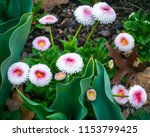 white spring flowers in a... | Shutterstock . vector #1153799425