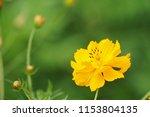yellow cosmos or cosmos... | Shutterstock . vector #1153804135