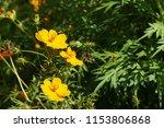 yellow cosmos or cosmos... | Shutterstock . vector #1153806868