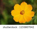 yellow cosmos or cosmos... | Shutterstock . vector #1153807042