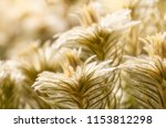 sun kissed golden plants at the ... | Shutterstock . vector #1153812298