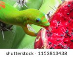 Gold Dust Day Gecko Licking Th...