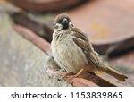 a rare tree sparrow  passer... | Shutterstock . vector #1153839865