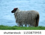 shaggy sheep in a windy day in... | Shutterstock . vector #1153875955