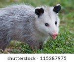 Photograph Of A Juvenile...