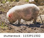 a domestic pig in the mud | Shutterstock . vector #1153911502