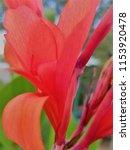 red flower close up | Shutterstock . vector #1153920478