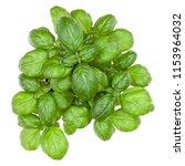 fresh sweet genovese basil... | Shutterstock . vector #1153964032