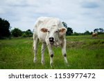 cute cow white calf on the... | Shutterstock . vector #1153977472
