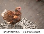 hen on hencoop | Shutterstock . vector #1154088505