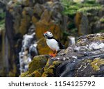 puffin holds many fish in his... | Shutterstock . vector #1154125792