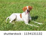Stock photo english pointer sits on the grass animals world 1154131132