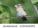 female rose breasted grosbeak | Shutterstock . vector #1154165392