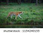 a siberian tiger  panthera... | Shutterstock . vector #1154240155