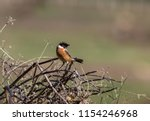 the stonechats are small   big... | Shutterstock . vector #1154246968