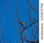 tiny  little  silvereye or wax... | Shutterstock . vector #1154275798