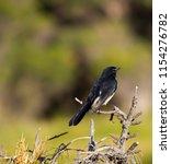 chirpy little juvenile ... | Shutterstock . vector #1154276782