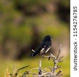 chirpy little juvenile ... | Shutterstock . vector #1154276785