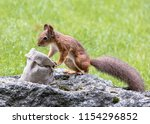 little squirrel sitting on a... | Shutterstock . vector #1154296852