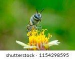bee eating  bee sucking the... | Shutterstock . vector #1154298595