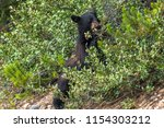 bear feeding on berries in... | Shutterstock . vector #1154303212