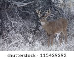 White Tailed Buck Deer In...