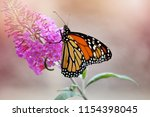 A Monarch Butterfly On A...
