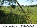 wild grass ears  close up.... | Shutterstock . vector #1154434345