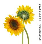 beautiful sunflower isolated on ... | Shutterstock . vector #1154451955