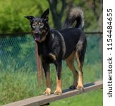 a large dog mongrel trains on a ... | Shutterstock . vector #1154484655