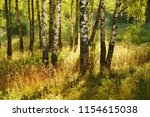 birch forest in sunlight in the ... | Shutterstock . vector #1154615038