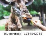 giraffe eating carrot from... | Shutterstock . vector #1154642758