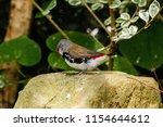 the gouldian finch  erythrura... | Shutterstock . vector #1154644612