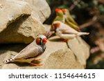 the gouldian finch  erythrura... | Shutterstock . vector #1154644615