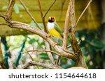 the gouldian finch  erythrura... | Shutterstock . vector #1154644618