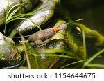 the gouldian finch  erythrura... | Shutterstock . vector #1154644675