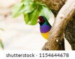 the gouldian finch  erythrura... | Shutterstock . vector #1154644678