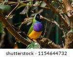 the gouldian finch  erythrura... | Shutterstock . vector #1154644732