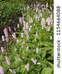 polygonum or persicaria bistort ... | Shutterstock . vector #1154664088