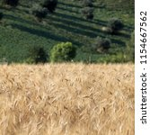 panoramic view of olive groves... | Shutterstock . vector #1154667562