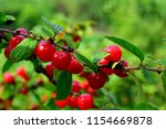 cherry berries on a branch.... | Shutterstock . vector #1154669878