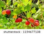 gooseberry berries on the bush. ... | Shutterstock . vector #1154677138
