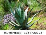 agave in landscape design.... | Shutterstock . vector #1154720725