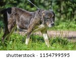 central asian shepherd dog  old ... | Shutterstock . vector #1154799595