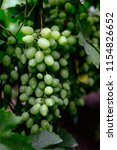 beautiful young unripe grapes... | Shutterstock . vector #1154826652