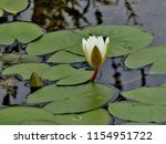 white water lily nymphaeaceae   Shutterstock . vector #1154951722