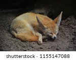 Fennec Fox Or Fennec  Vulpes...
