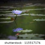 purple lily lotus blooming in... | Shutterstock . vector #115517176