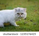 Stock photo serious cat persian cat walking on green grass and looking forward to being upset 1155176425