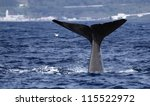 Sperm whale starts a deep dive - near shore waters south of Lajes do Pico (Pico Island, Azores) 01 - stock photo